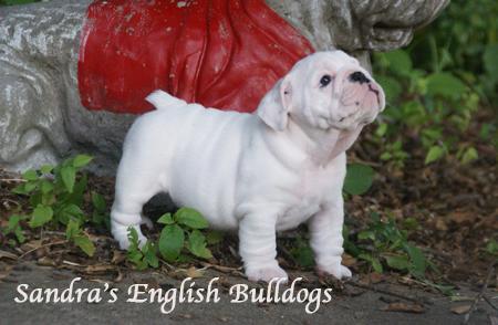 Sandra's English bulldogs