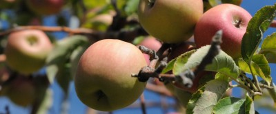 Our Favorite Pick-Your-Own Apple Orchards image