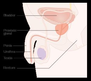 prostate diagrame