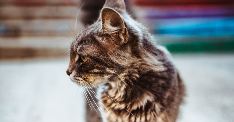 Stress Cystitis in Cats
