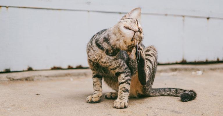 Fleas in pets