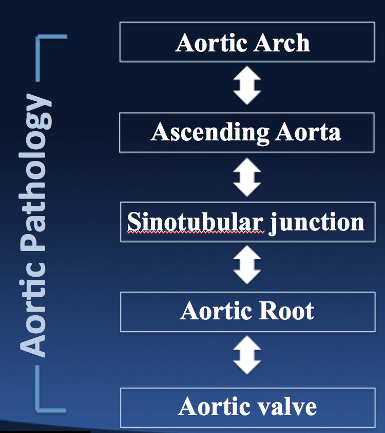 There are many anatomic building blocks associated with the Aortic Valve and Aortic Root