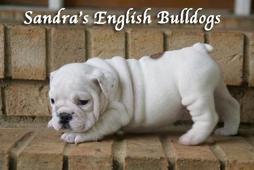 Sandra's English Bulldog puppy