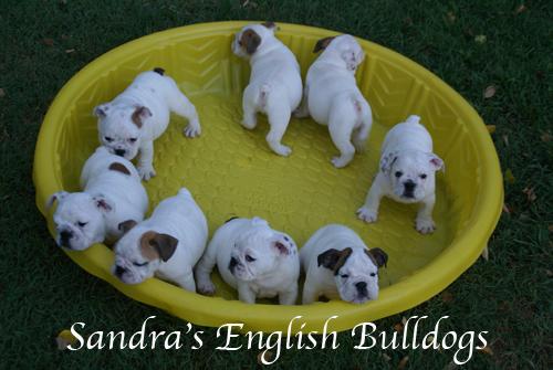 Sandra's English bulldog puppies