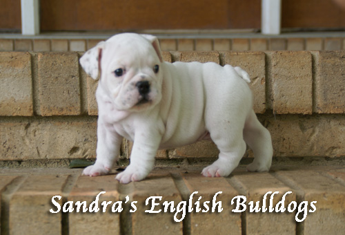 Sandra's English Bulldogs puppy