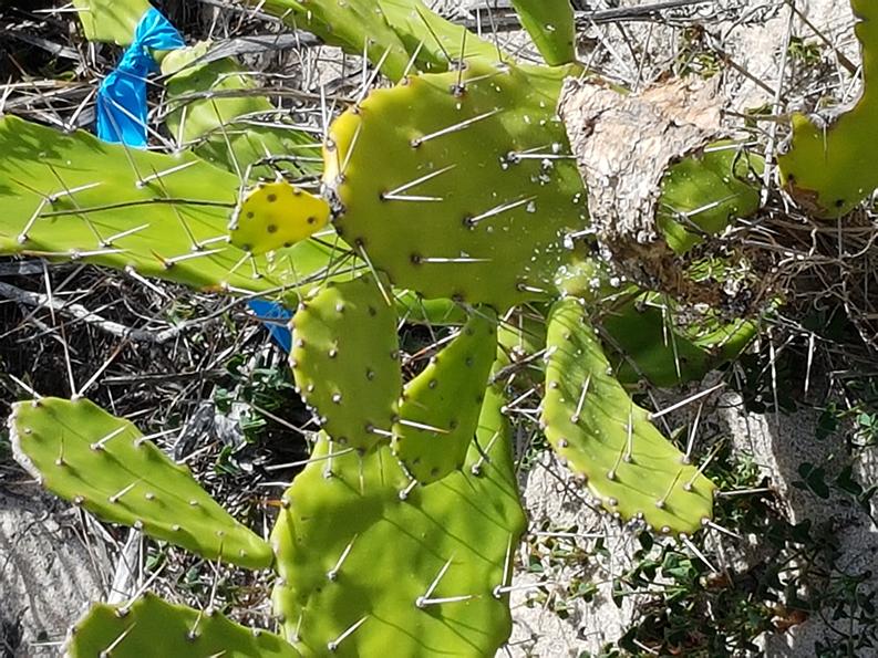 Drooping tree pear
