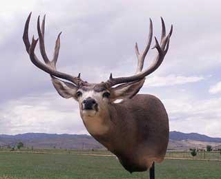 Colorado Mule