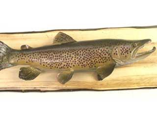 25-inch German Brown Trout