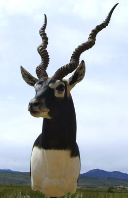 Blackbuck - Don