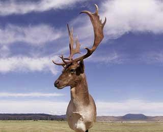 Beautiful Spotted Fallow Deer