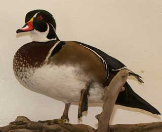 Colorado Wood Duck