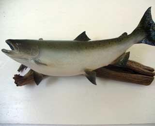 Silver Salmon skin mount