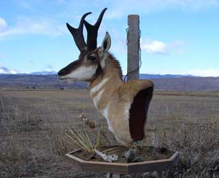 Antelope Pedistal - Brett