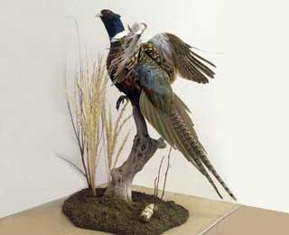 Flushing Pheasant