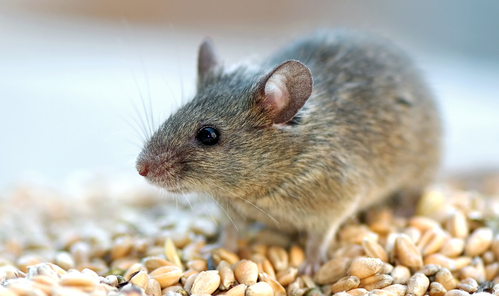 Prevent re-infestation by rats and mice | YourLocal Pest Control