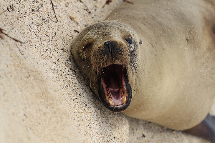 Robbe am Strand von Galapagos