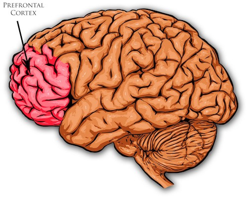The prefrontal cortex and maturity