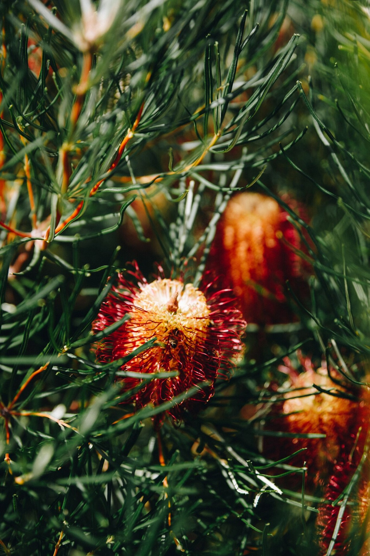 Banksia Spotted In Esperance