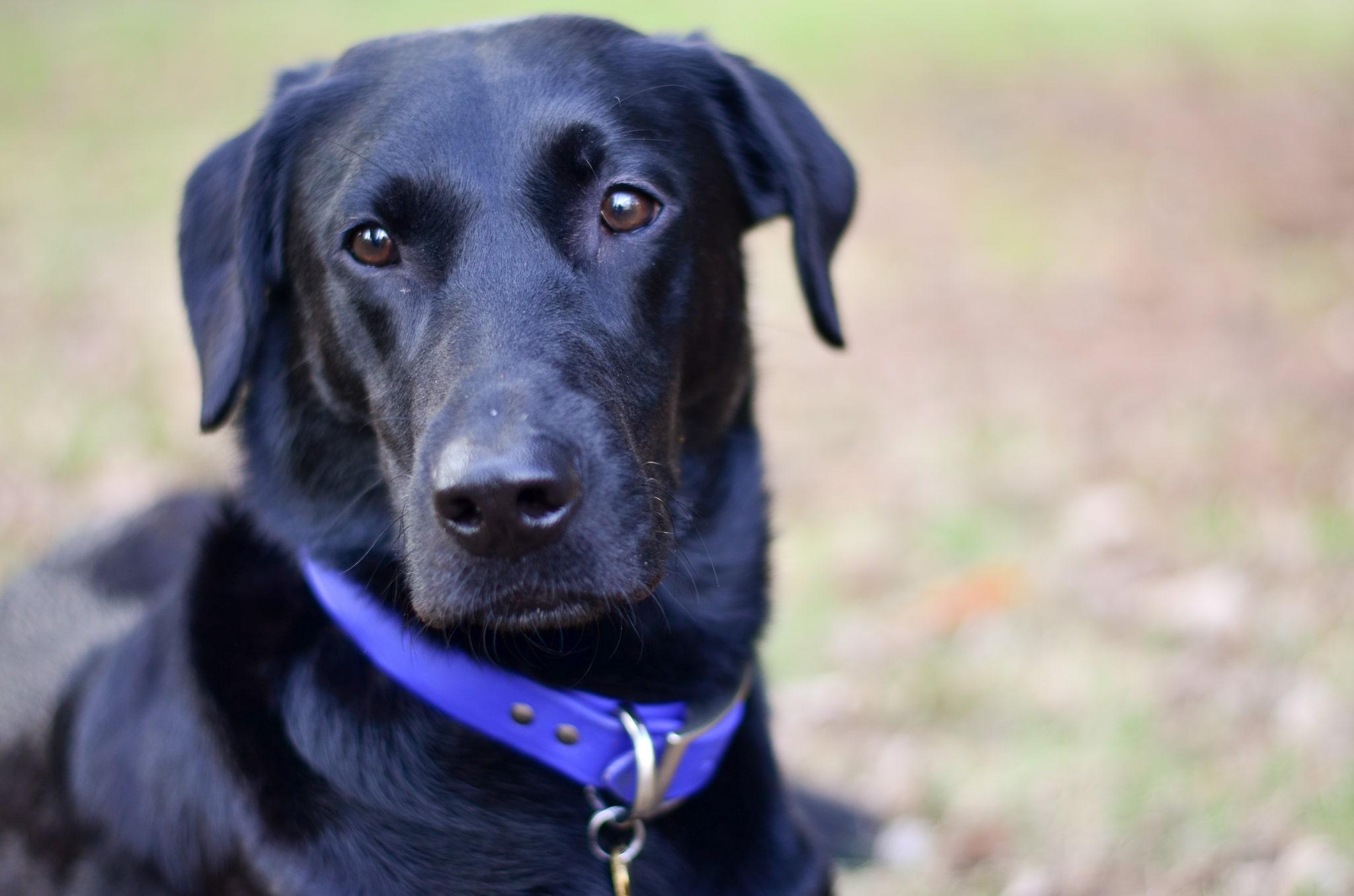 beautiful labrador canine