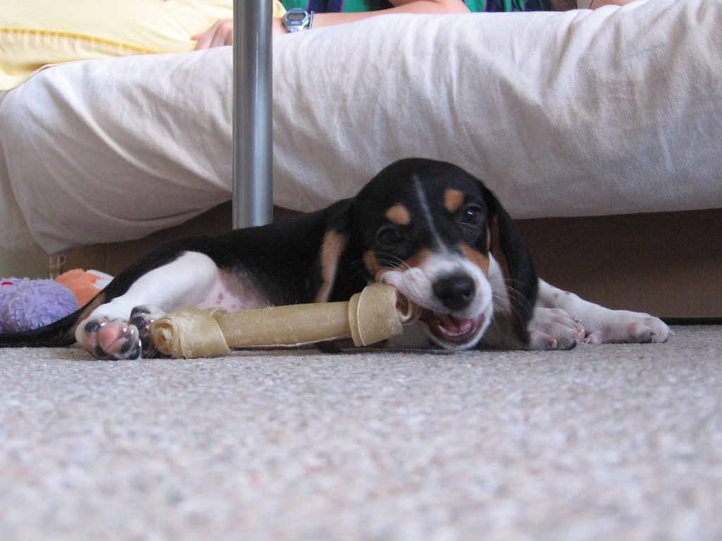 dog chewing on rawhide bone