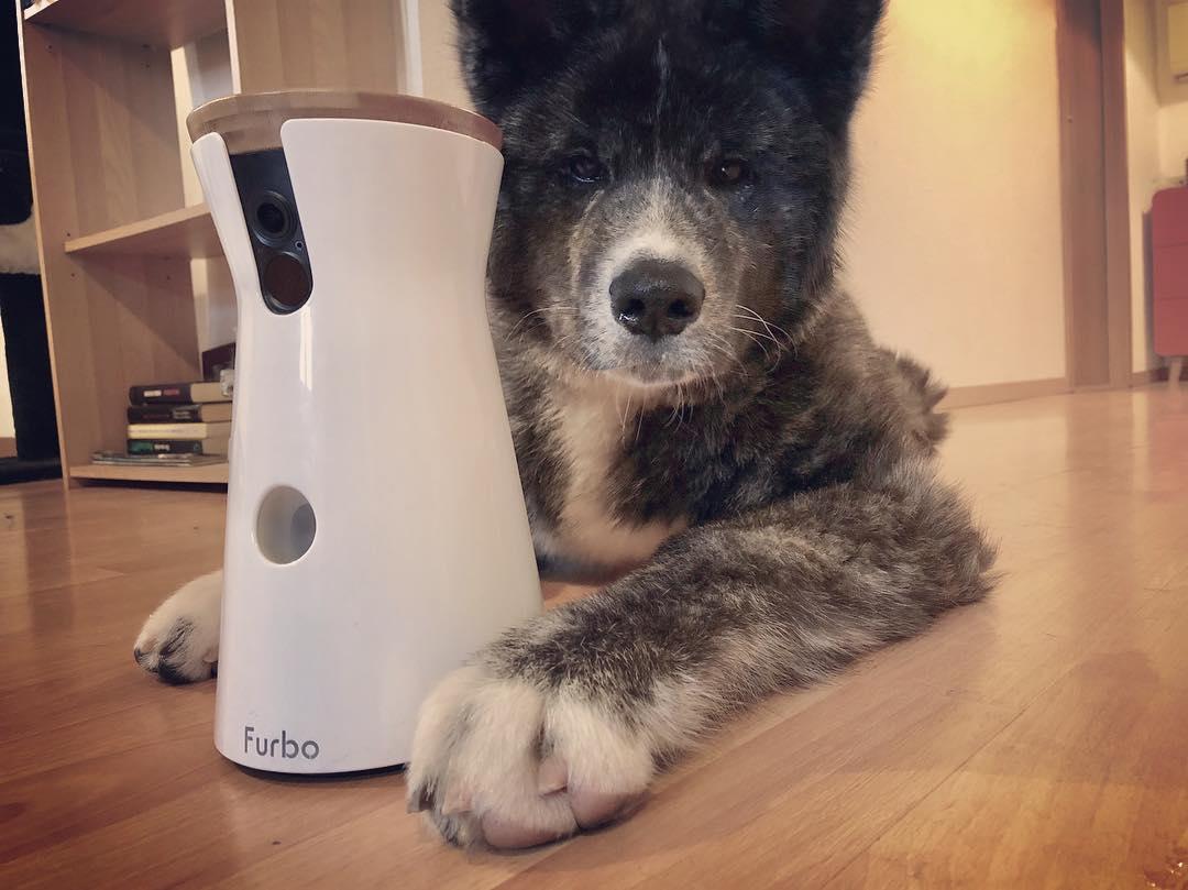 Kodji the akita puppy posing with his new furbo pet camera