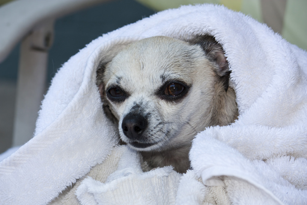wet chihuahua wrapped in towel
