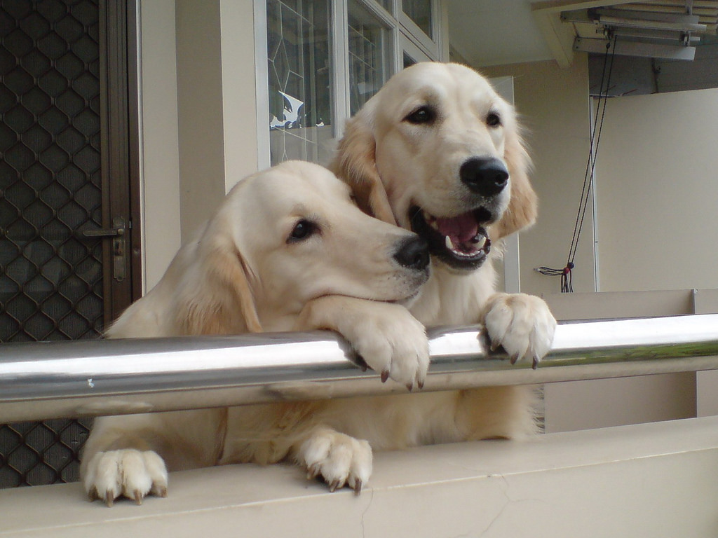 two dogs playing on balcony