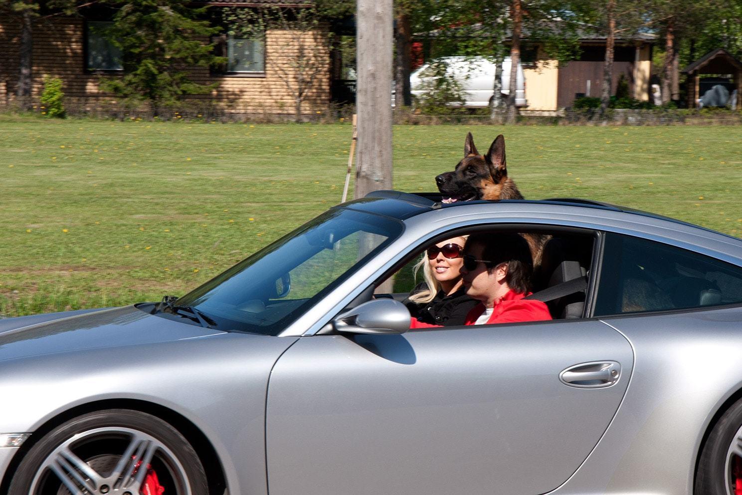 german shepherd after climbing up into nice car