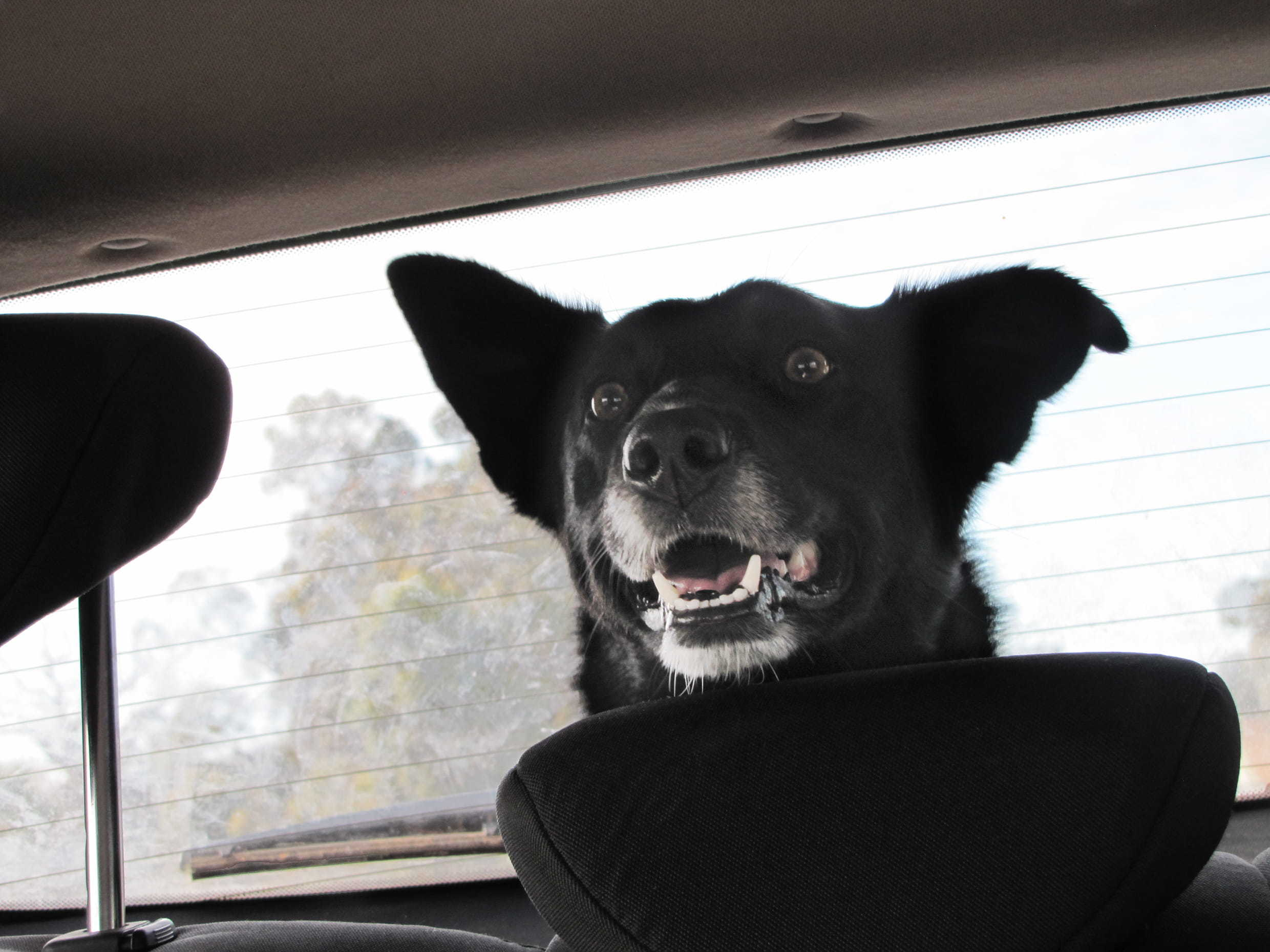 happy canine riding in the truck of a car