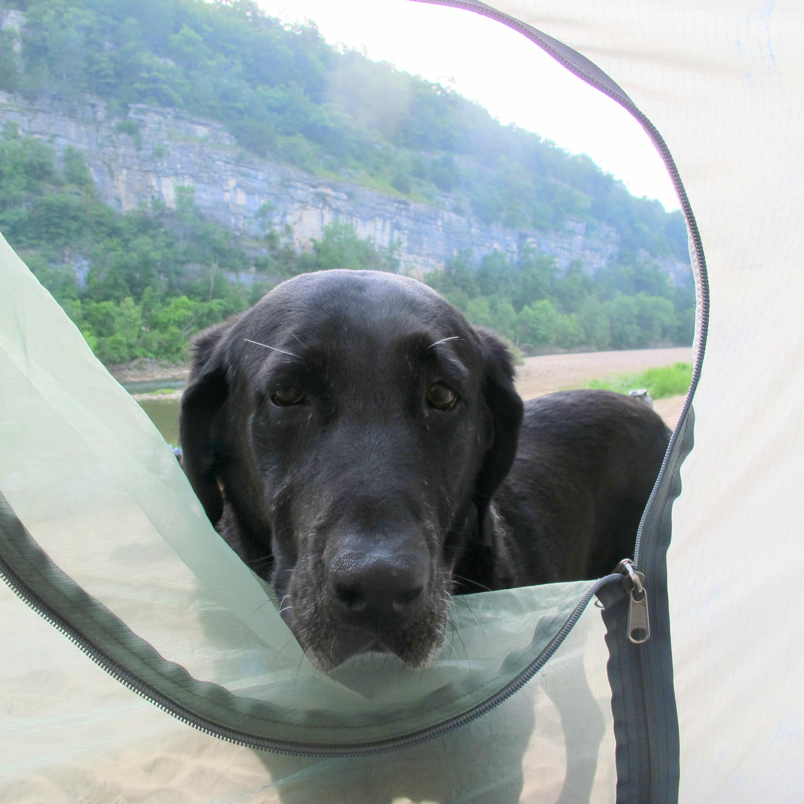 Dog peaking into tent