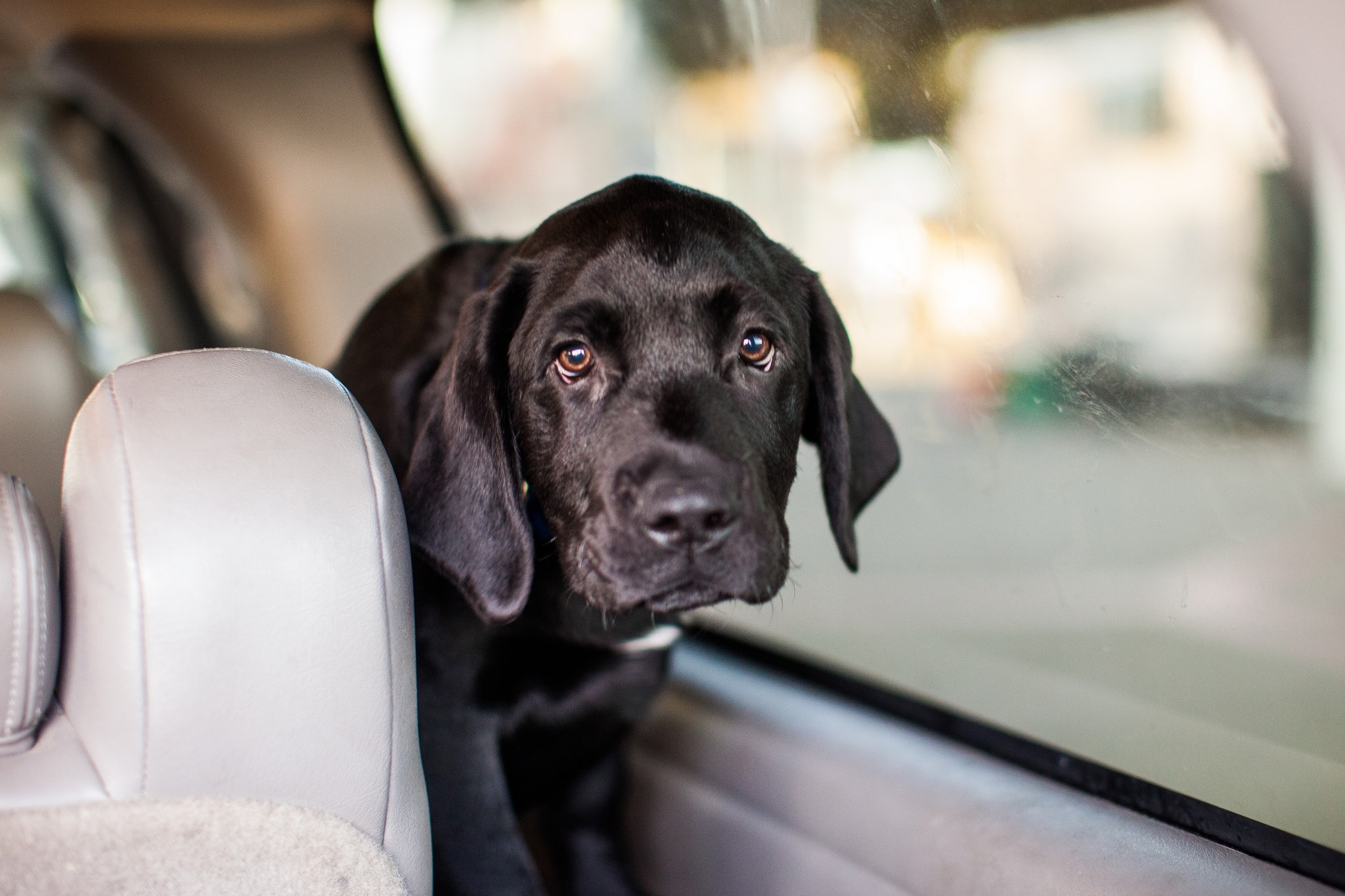 black dog in car