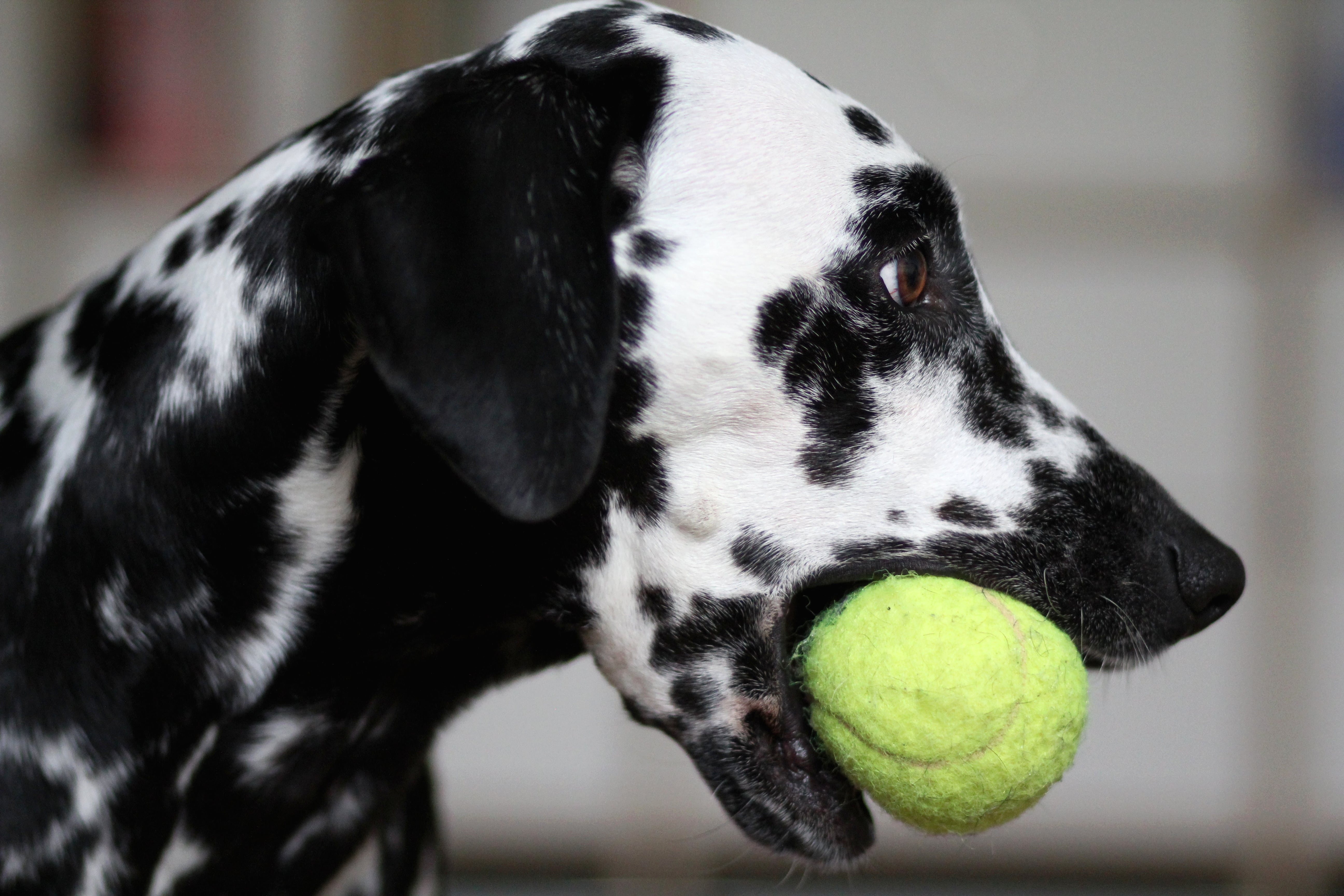Automatic ball launchers for dogs: Teach them to play fetch