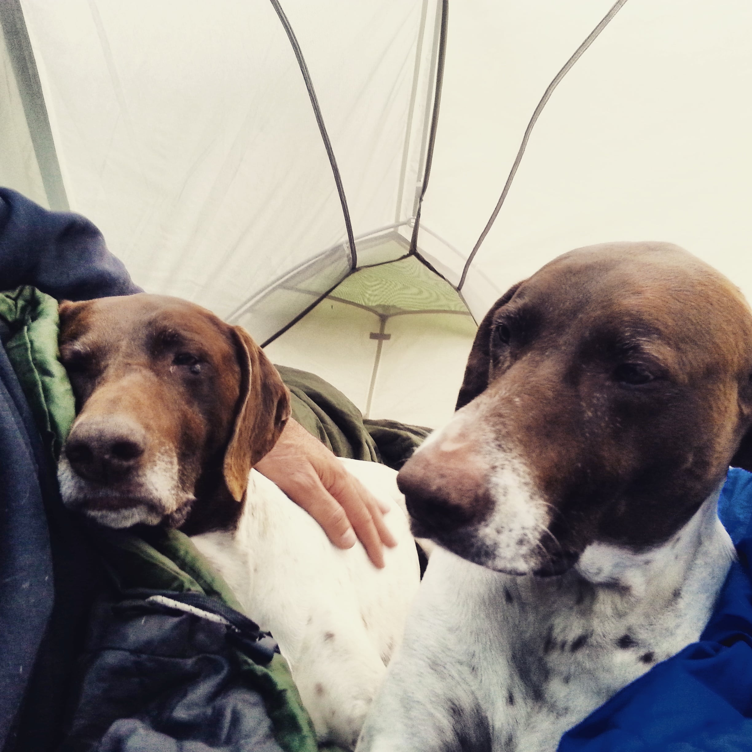 two dogs relax in their tent