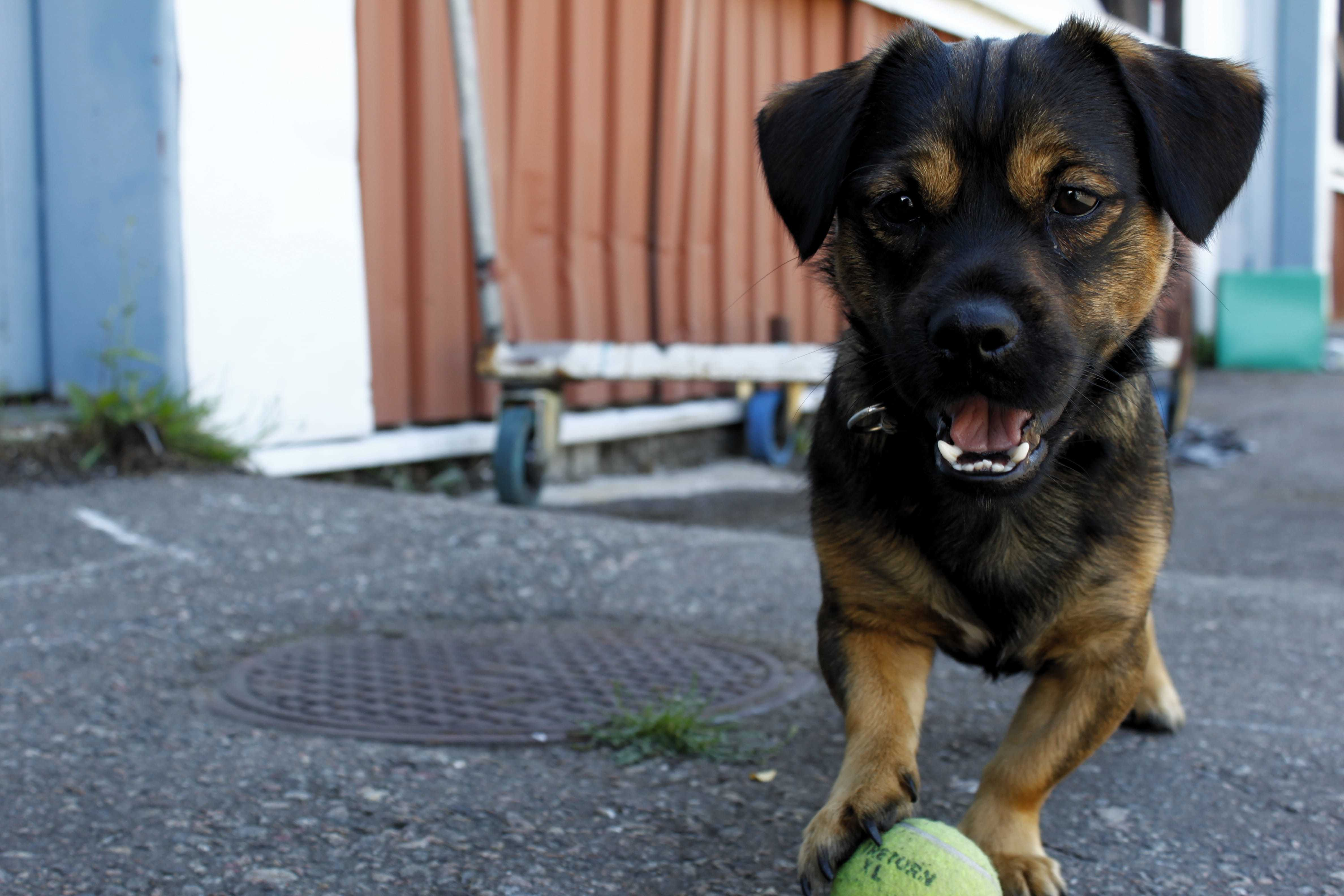 Puppy with kong ball ready to play fetch