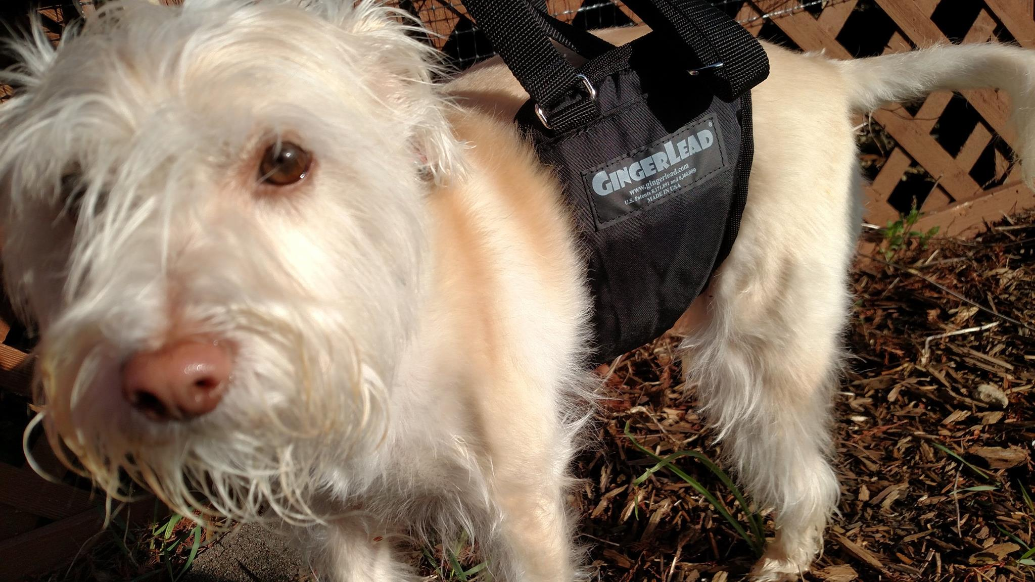 Best dog harness to support back legs