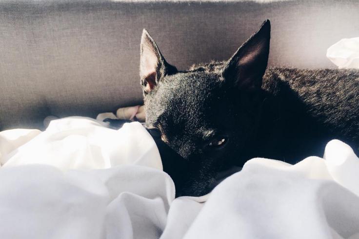 black dog in white sheet