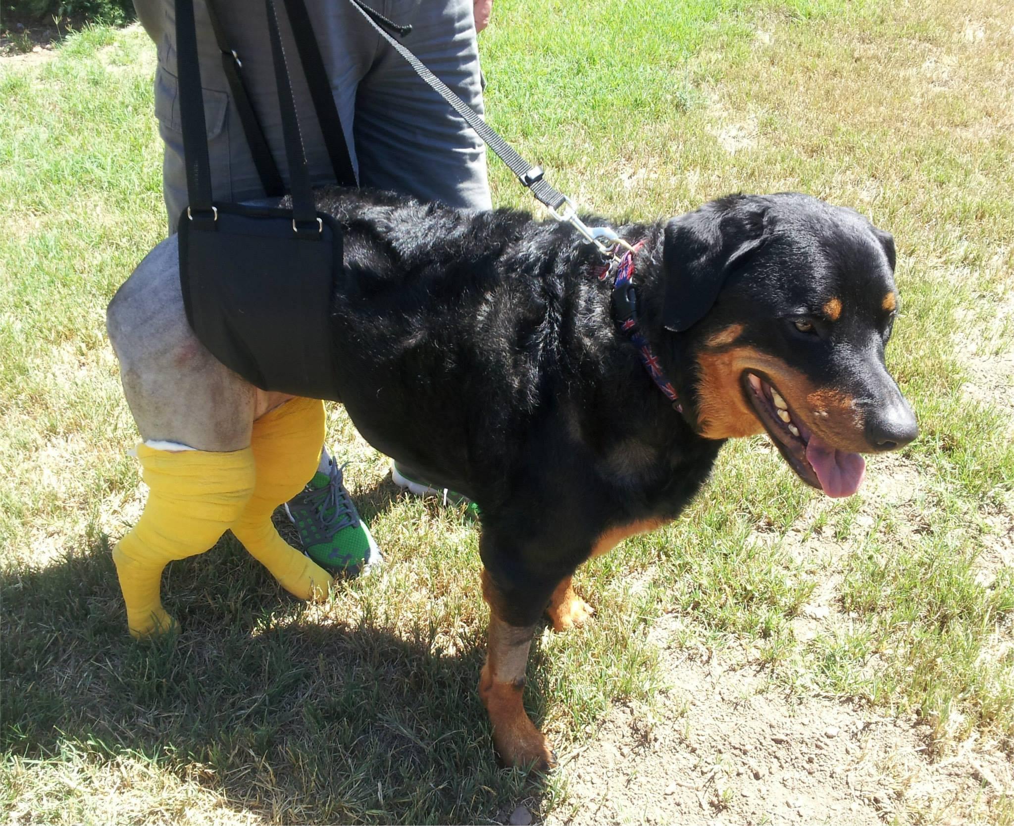 rottweiler dog using GingerLead support harness for rear legs