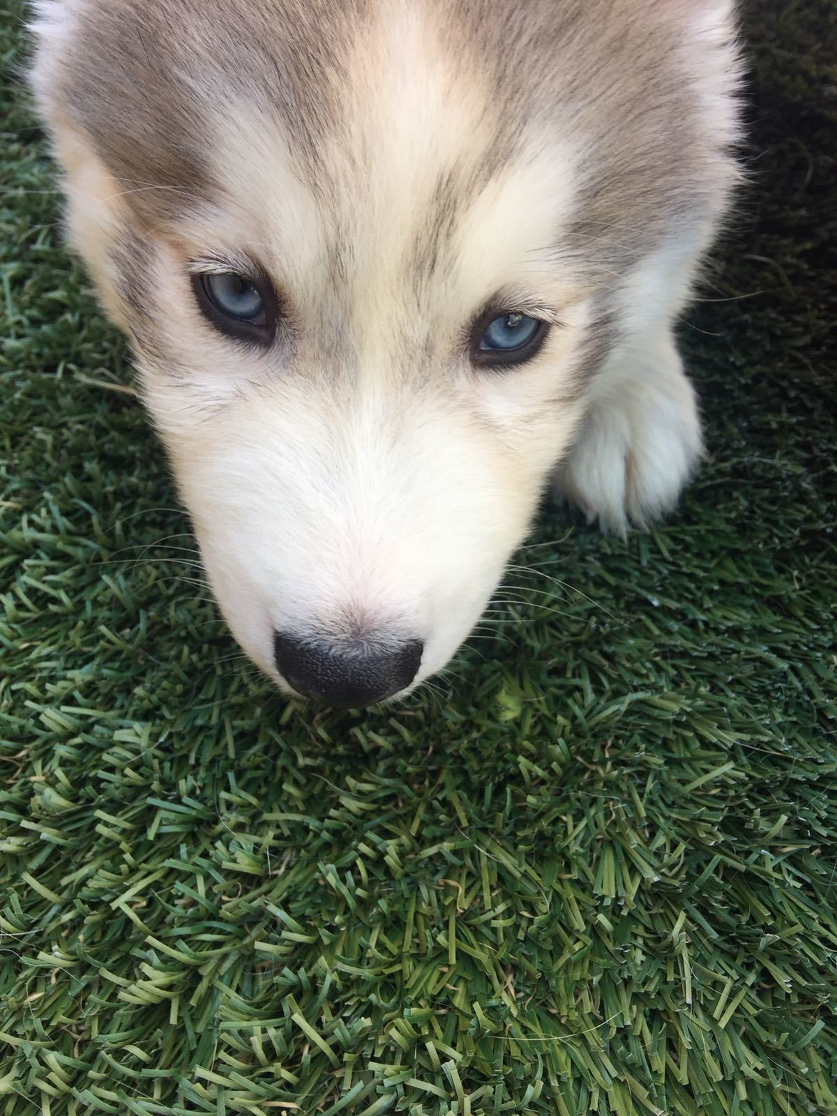 Husky puppy searching for food