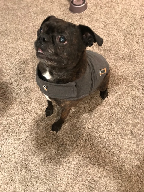 my small dog wearing the thundershirt which cured her of her anxiety