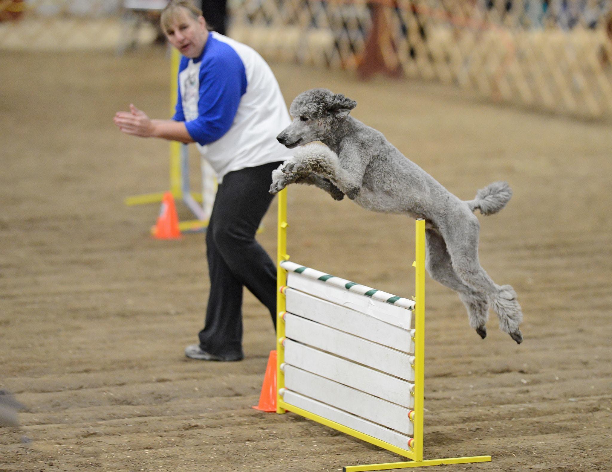 dog agility course standard jump