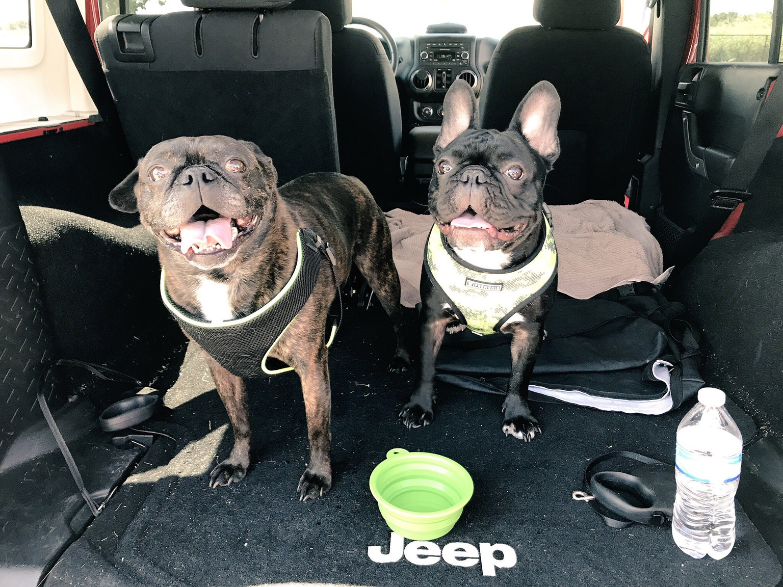 two pugs of candice cruchfield in back seat of car