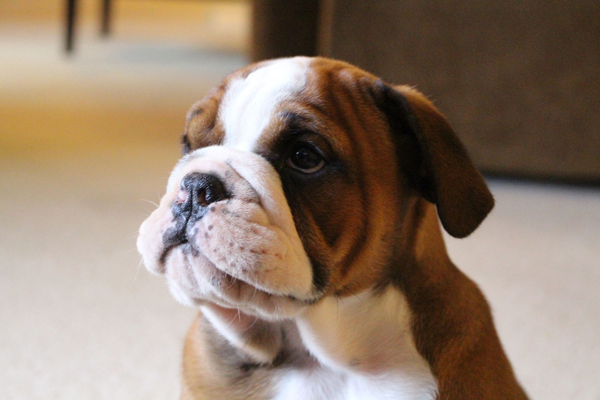 young cute bulldog with dry nose