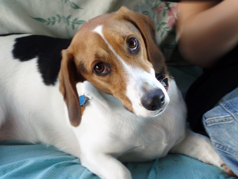 cute beagle with puppy dog eyes