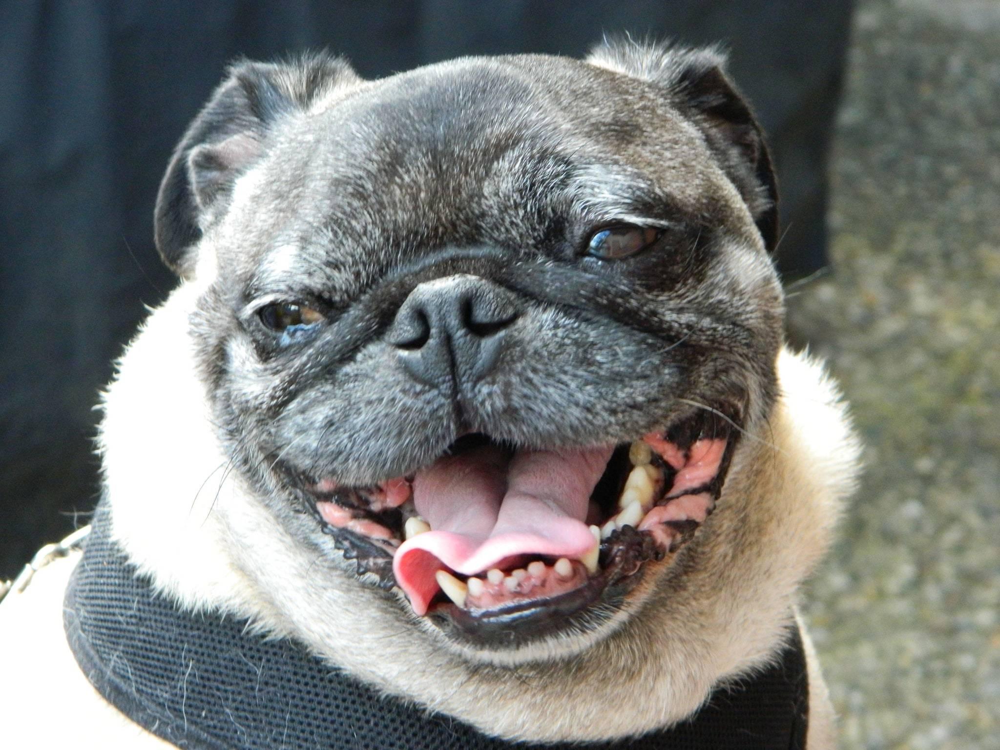 happy pug smiling