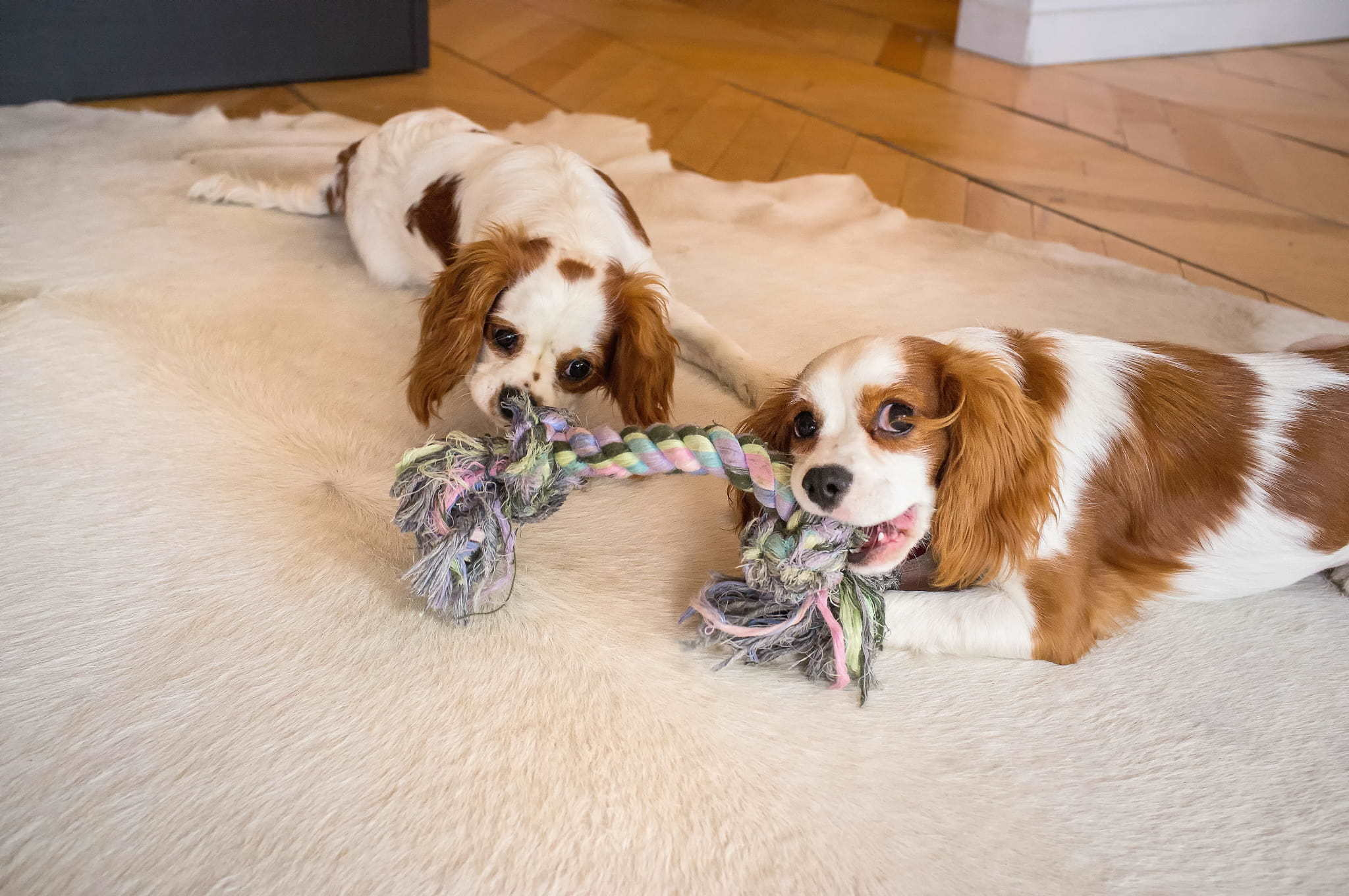 two dogs playing rope tug inside during winter