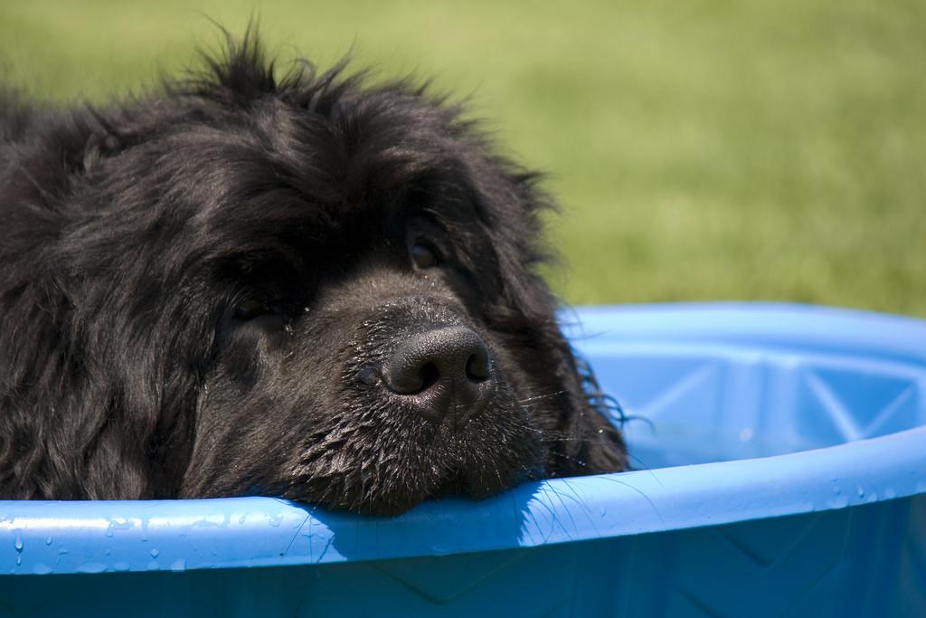 newfoundland dog in pool