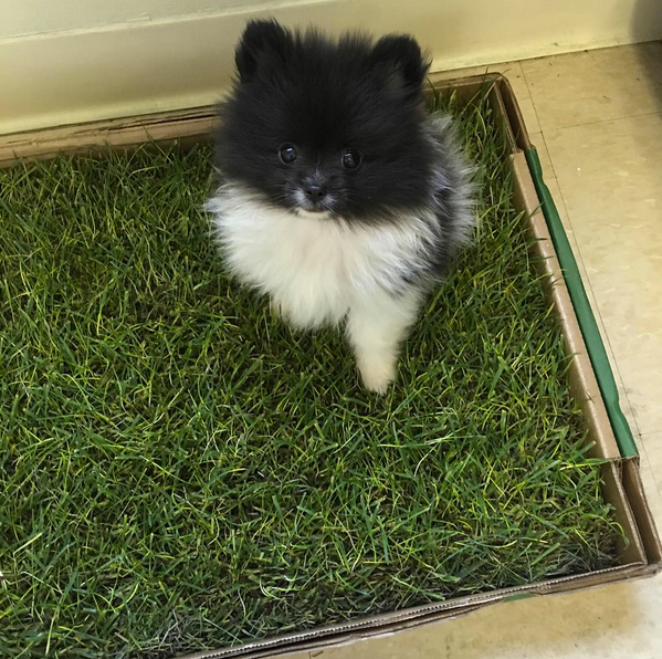small puppy going potty on a real grass pad