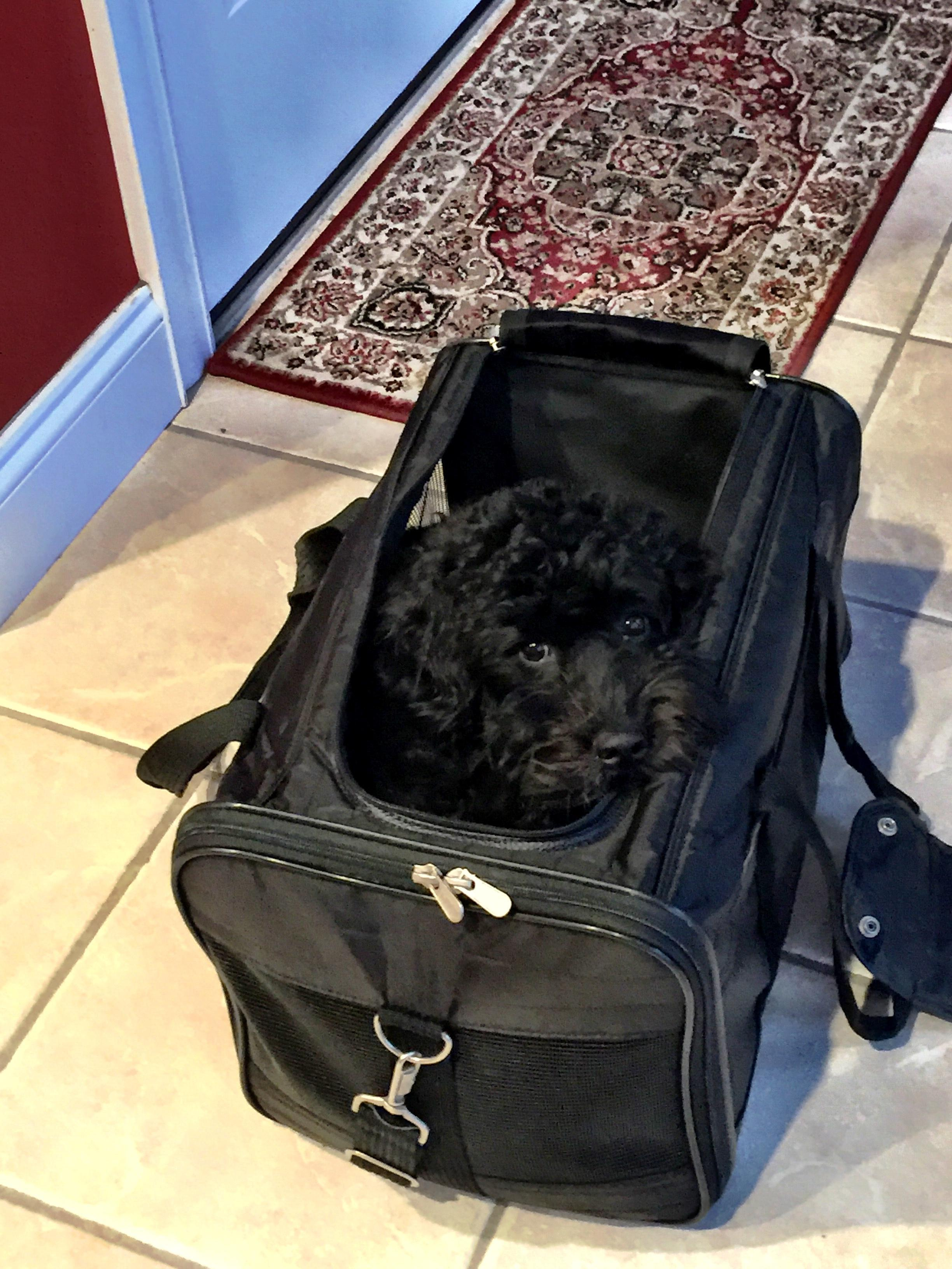 Dog in sherpa carrier for traveling