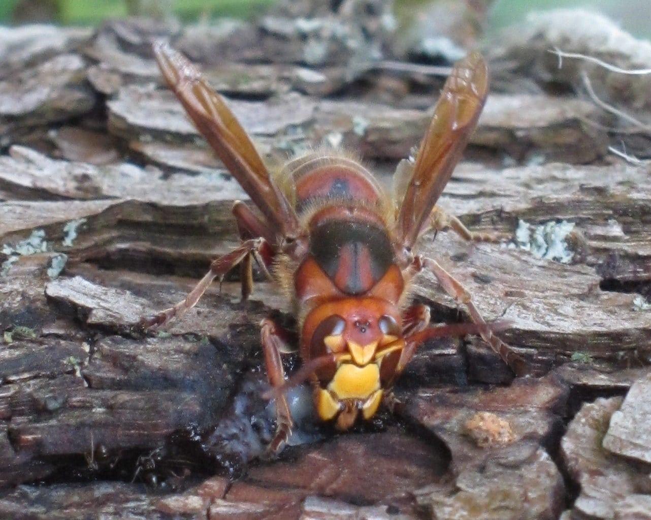 hornet on wood log