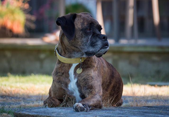 old dog lying outside